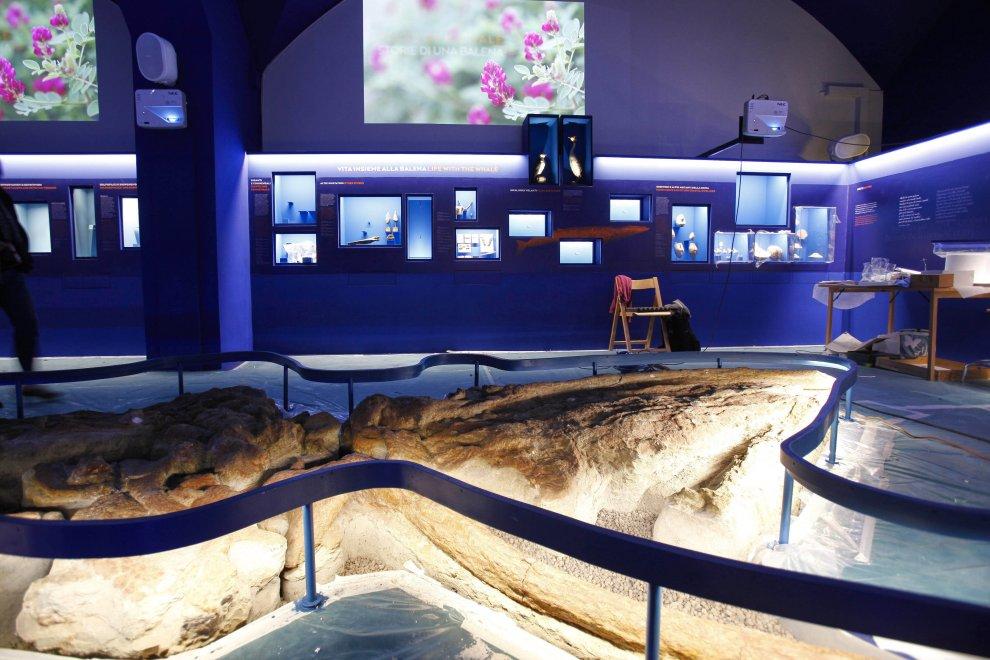 Firenze, al museo di Storia naturale arriva una balena di tre milioni di anni fa