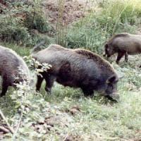 Toscana, fino al 18 settembre è caccia aperta al cinghiale