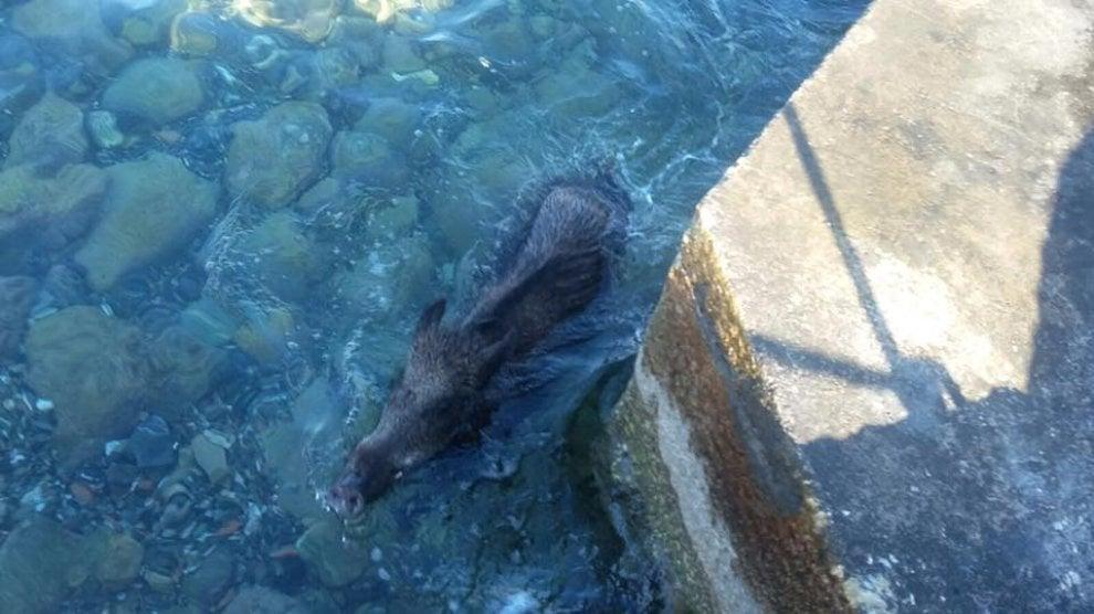 La nuotata del cinghiale nel mare di Castiglioncello