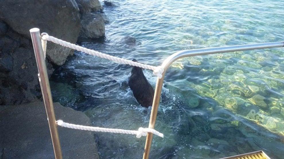 La nuotata del cinghiale nel mare di castiglioncello 1 di 1 firenze - Bagno tirreno castiglioncello ...