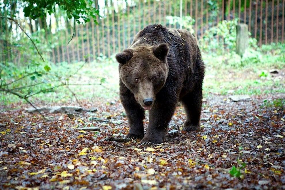 """Cavriglia, addio vecchio orso Bruno ultimo discendente di un """"regalo comunista"""""""