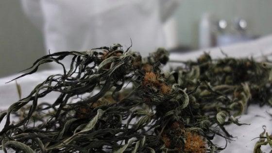 La cannabis di Stato prodotta a Firenze da gennaio in farmacia
