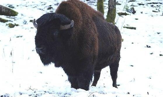 Cavriglia, addio al bisonte Arturo, ma litigano sindaco-animalisti per trovare casa all'ultimo ospite dell'ex zoo