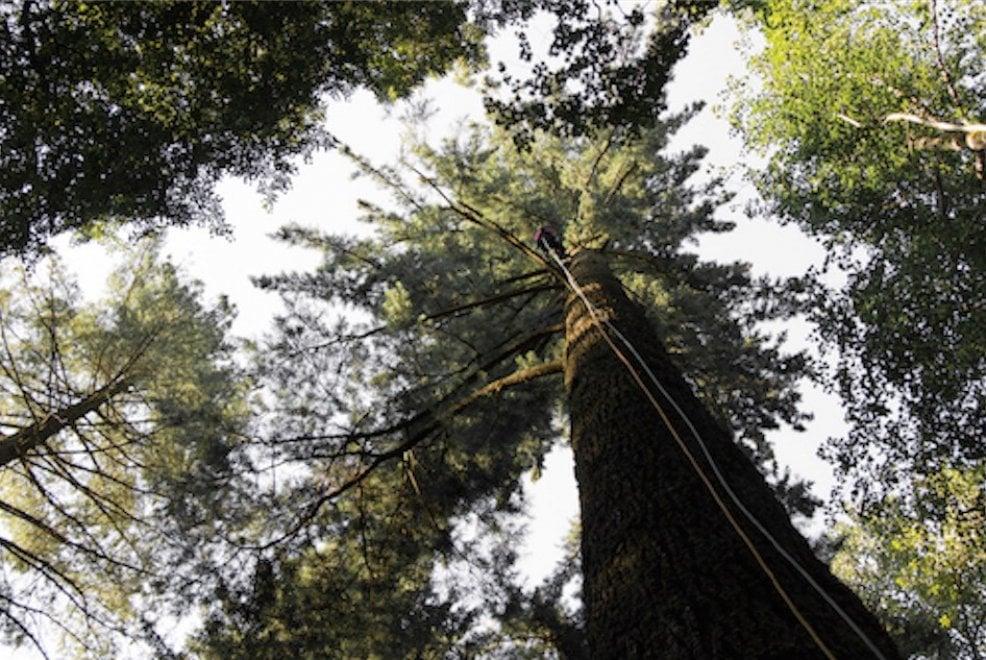 Toscana, nella riserva di Vallombrosa scovato l'albero più alto d'Italia