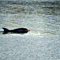Pisa, il delfino che nuota in Arno sarà scortato in mare