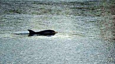 L'Arpat smentisce: il delfino non è malato ma sarà scortato in mare dopo due mesi