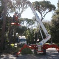 Firenze, iniziato il taglio dei pini in viale Torricelli
