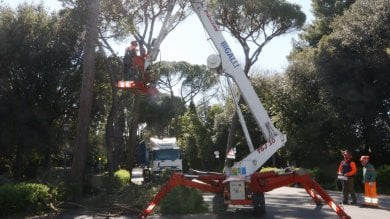 Via al taglio dei pini in viale Torricelli -   foto