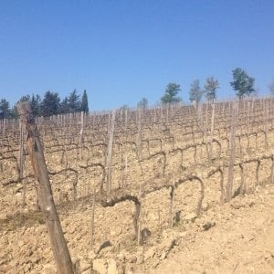 Toscana, ottanta milioni di euro bruciati dal freddo nei vigneti