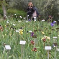 Gli iris simbolo di Firenze: c'è tempo solo un mese per visitare il Giardino