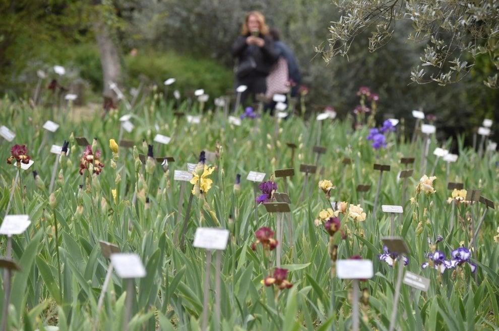 Gli iris simbolo di firenze c 39 tempo solo un mese per for Giardino orto botanico firenze