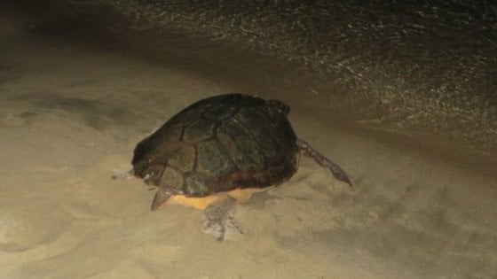 Isola d'Elba: sono nate cinquanta tartarughe marine