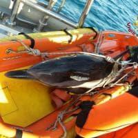 Livorno, delfino salvato dai sommozzatori