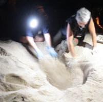 E' la carica dei 101, nascono altre tartarughine all'Isola d'Elba
