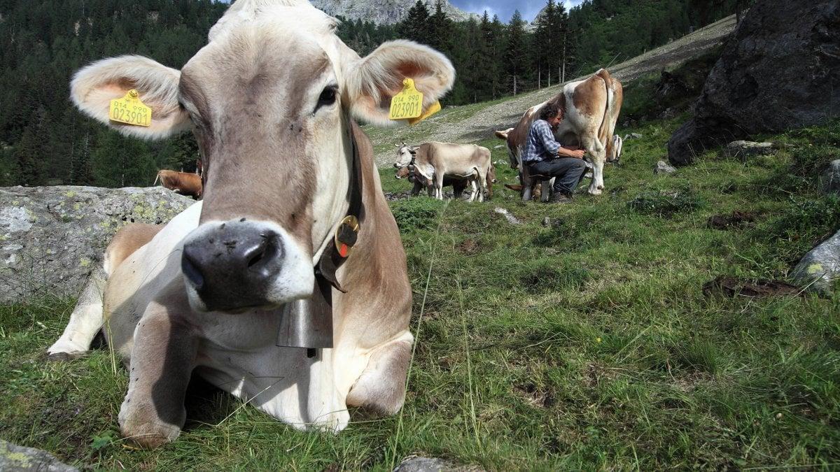 Elicottero Animale : Massa mucca precipita in un dirupo e viene salvata con l