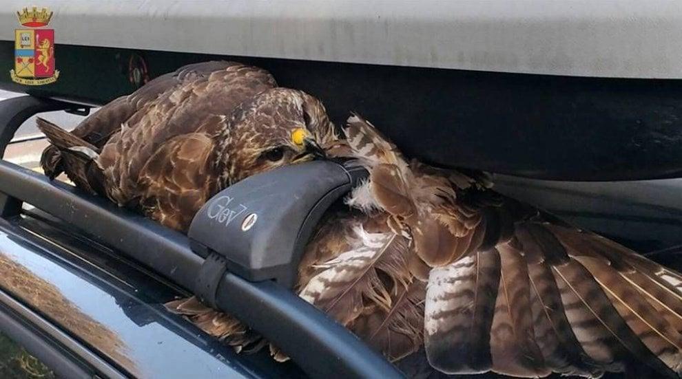 Salvato il falco pellegrino incastrato nel portabagagli di un'auto