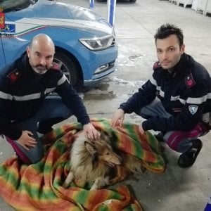 Carrara, cane fugge dal temporale e finisce sull'A12: salvato dalla polizia stradale