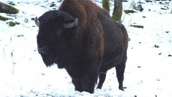 Il bisonte Arturo lascia il parco di Cavriglia: era l'ultimo animale dell'ex zoo