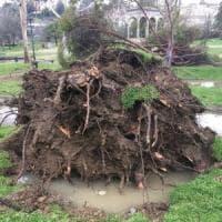Maltempo, cade pino all'Orticoltura a Firenze, nessun ferito
