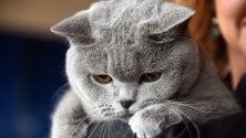 """Dal siamese al """"ragdoll"""":    i gatti più strani del pianeta a Firenze  foto"""