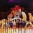 Niente animali al circo,  il Tar dà ragione  al Comune di Lucca