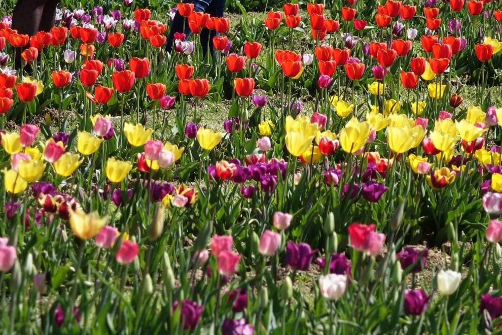 Una passeggiata tra i fiori: a Scandicci ora c'è il parco dei tulipani