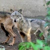 Calenzano, sulle tracce dei lupi sui monti della Calvana