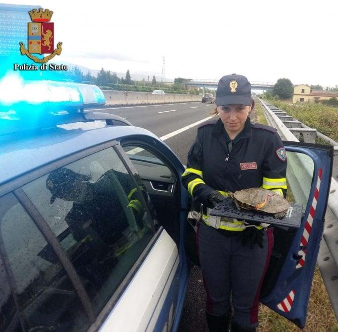 Pistoia, tartaruga ferita sull'A11: salvata dalla Polstrada