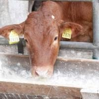 La fiera del bestiame del Valdarno per due giorni a Rignano
