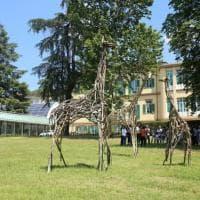 Firenze, una famiglia di giraffe nel parco del Meyer