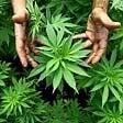 Coltivano marijuana  in giardino, arrestati  padre e figlio nel Pistoiese