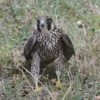 Recuperato e curato falco pellegrino ferito nel Fiorentino
