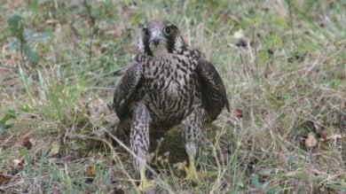 Recuperato e curato falco pellegrino  ferito nel Fiorentino  foto
