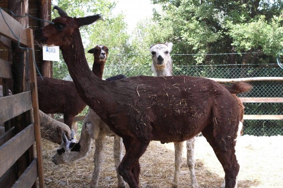 Lavorare la lana degli alpaca: i ragazzi disabili imparano un mestiere
