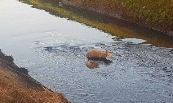 Firenze, pecora annega in un canale: i forestali salvano il resto del gregge maltrattato