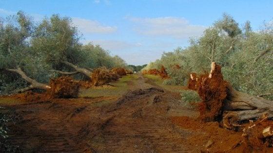 Un focolaio di xylella in Toscana | Attualità MONTE ARGENTARIO