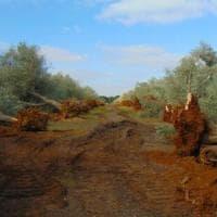Xylella colpisce la Toscana, ma il ceppo è diverso da quello che ha colpito gli alberi in...