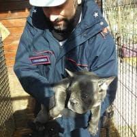 Stroncato traffico di cuccioli dall'Ungheria, sequestrati 226 cani tra bulldog e beagle