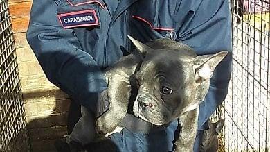 Stroncato traffico di cuccioli dall'Ungheria, sequestrati 226 cani tra bulldog e beagle  ft