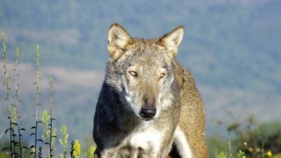 Suvereto, uccise e appese un lupo a un cartello stradale: in