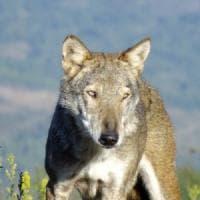 Suvereto, uccise e appese un lupo a un cartello stradale: incastrato dal Dna