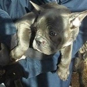 Firenze, taglia la coda e toglie il microchip al cane: il giudice dispone il sequestro