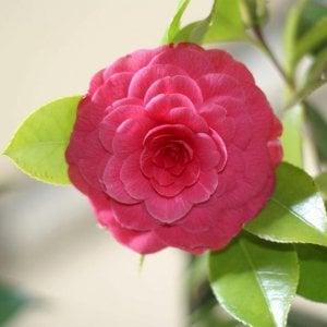 Tuscany's Exquisite Camellia Festival