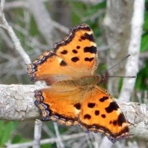 """All'Elba rispunta una farfalla """"estinta"""" da più di 100 anni"""