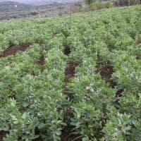 Sesto Fiorentino, bimbo allergico: e il sindaco vieta di coltivare le fave