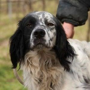 Ruba un cane da caccia nel Fiorentino: denunciato