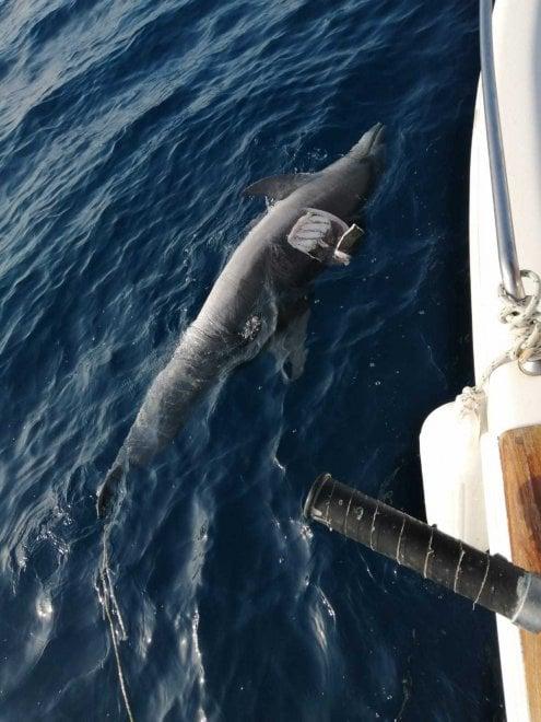 Livorno, altro delfino morto: salgono a 35 in Toscana. Ipotesi Morbillivirus