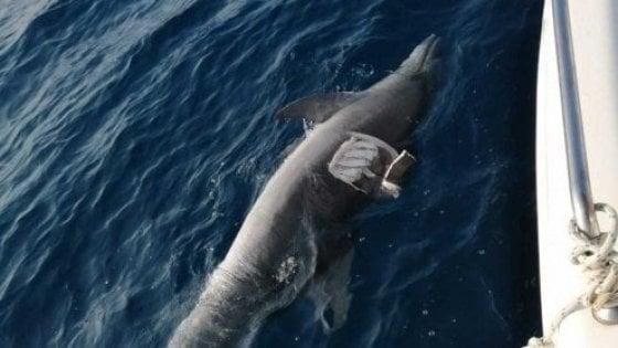 Toscana, ad uccidere i 40 delfini è stato il Morbillivirus