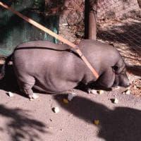 Firenze, maiale thailandese per strada all'Isolotto: interviene la municipale