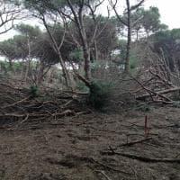 Maltempo, tromba d'aria devasta la riserva naturale della Feniglia: distrutti 1000 pini